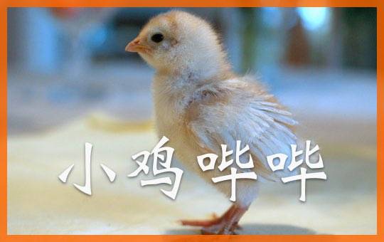 小鸡哔哔 The Chicken Song